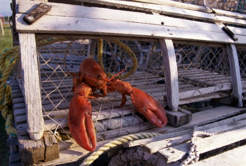 lobster_in_a_lobster_trap