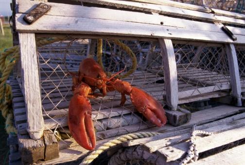 lobster_in_a_lobster_trap-ThinkstockPhotos-56687108.jpg